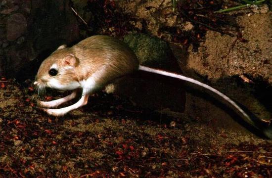 图4 沙漠鼠——更格卢鼠