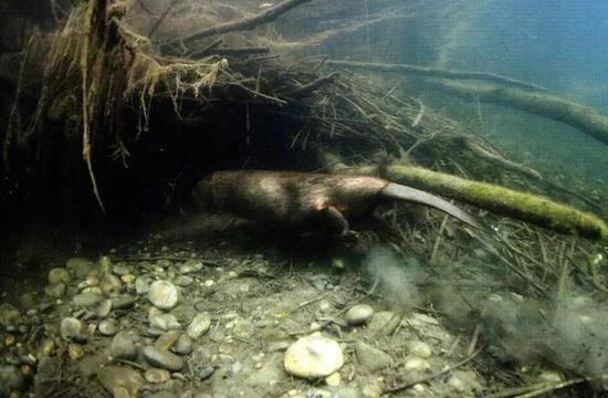 图7 湿地鼠——河狸
