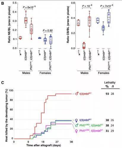 ▲缺失Phf7后,雄性果蝇脑内致死性恶性肿瘤的侵袭性减弱,雄性生存率提高,接近雌性水平(图片来源:参考资料[1])