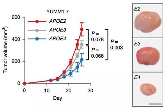 ▲APOE基因型对原发瘤的影响