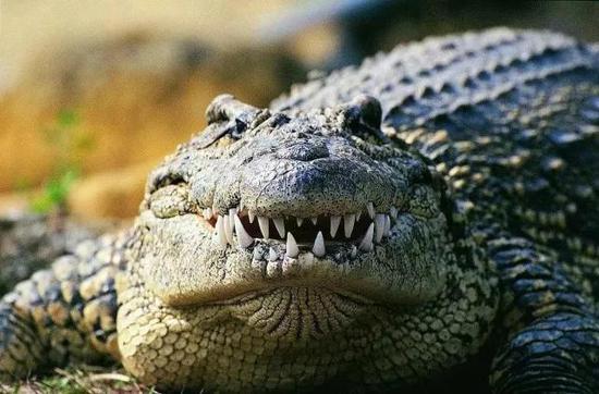 图8. 鳄鱼的牙齿
