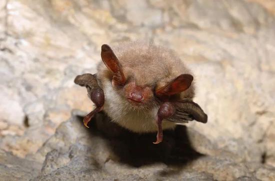 大鼠耳蝠(Myotis myotis)(图片来源:123RF)