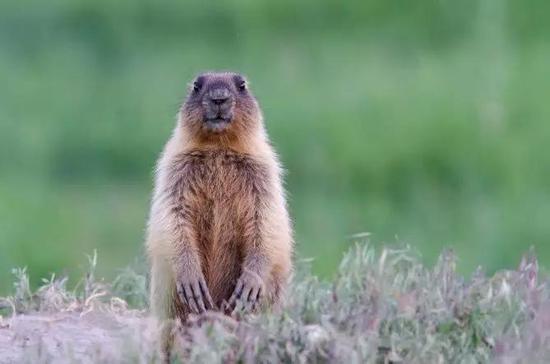 图5。旱獭(土拨鼠)本照片为西伯利亚旱獭Marmotasibiricu,分布内蒙古及俄罗斯、蒙古(图片来源:Veer图库)