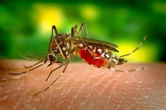 ▲人们期待能通过真菌杀死蚊子(图片来源:Pixabay)