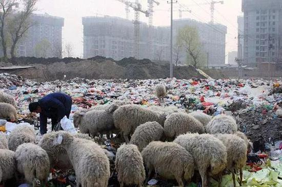 羊也是拾荒者,注意远处在建的居民楼