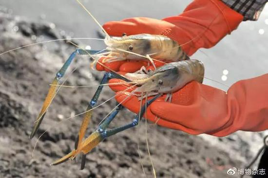 图3。 罗氏沼虾