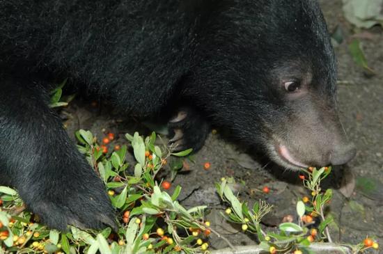 正在吃野果的黑熊