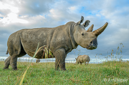 Fatu正在Ol Pejeta保护区内吃草,背景是Najin和南白犀 Tauwo © Ami Vitale/ Ol Pejeta