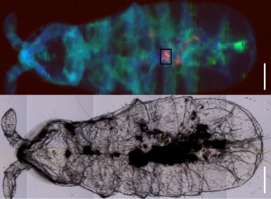 利用红外光谱技术,在RGB图像(上图)显示了南极弹尾虫体内的微塑料碎片。蓝色代表脂质,绿色代表蛋白质,而红色则是塑料碎片。