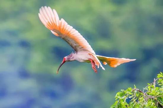 图5 朱鹮种群在人工干预下从灭绝边缘逐渐恢复(图片来源:dp.pconline.com.cn)