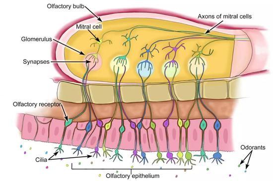 复杂的嗅觉受体(Olfactory receptor)系统