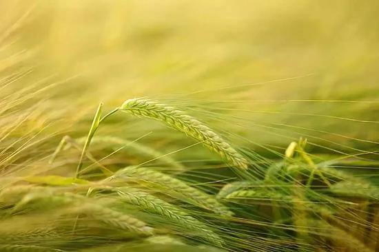 大麦。图片来源:Pixabay