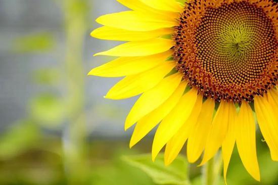 斐波拉契螺旋线——向日葵的种子排列