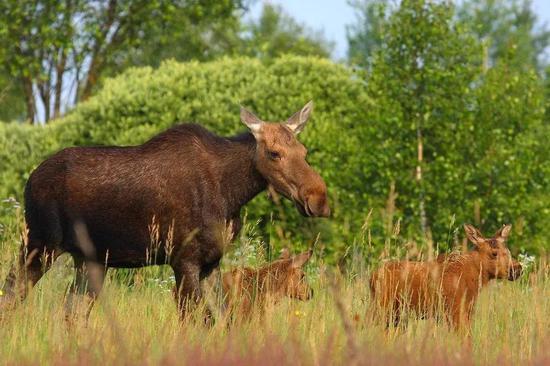 驼鹿母子。图片来源:ifescience.com