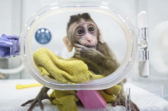 """小克隆猴似乎已经开始思考""""猴生"""""""