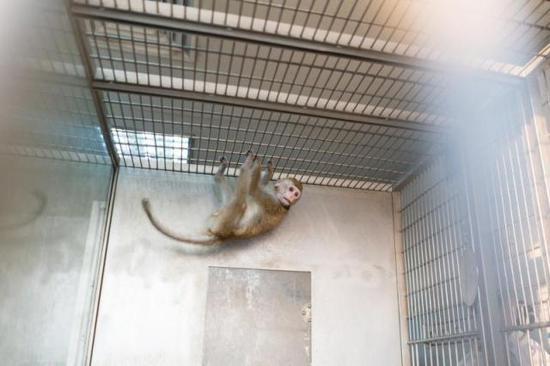 第一代生物节律核心基因bmal1缺失的猕猴,正是它为5只克隆猴提供了体细胞