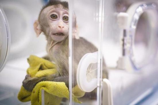 克隆猴看上去非常警惕