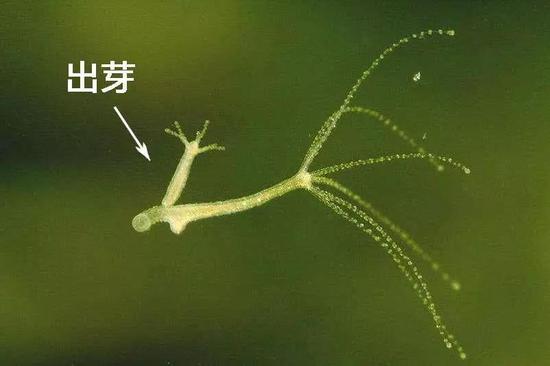 图注:当然状态下的水螅,生存和滋生能力爆外,图中可见出芽(无性生殖)