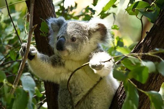 考拉是维持桉树林健康的重要部分。图片来源:Pixabay