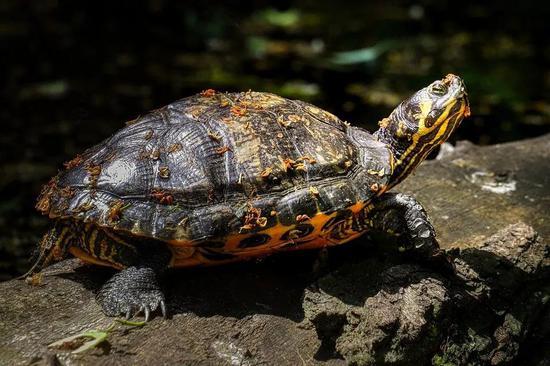 ▲不少卵生爬行动物的后代,其性别受到了温度的影响(图片来源:Pixabay)