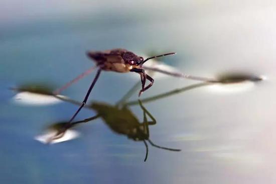 水蜘蛛为何能在水面行走?(图片来源:google)