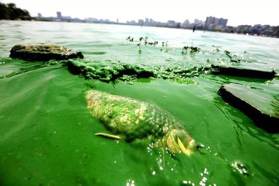 蓝藻爆发消耗水中大量的氧气,导致动物缺氧而死,跟这个过程也有些相似(图片来源:光明网)