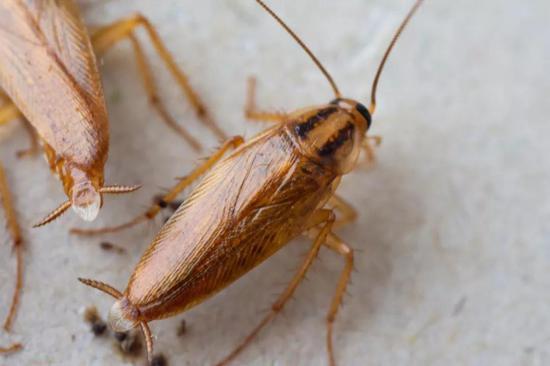 寄居家中的蟑螂   (图片来源:veer图库)