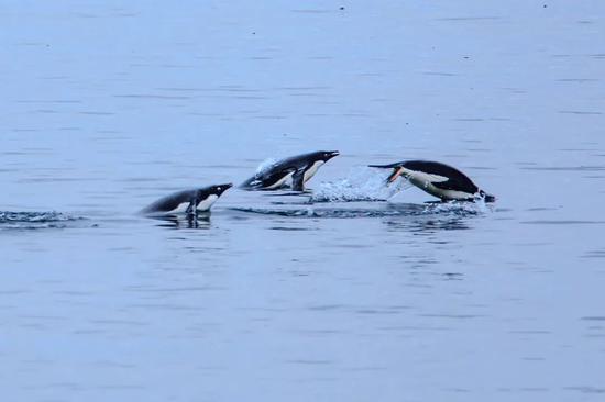 哪怕选择前往群山,企鹅的背后总还是有大海可以回去的。图片:Murray Foubister /flickr
