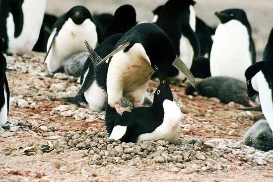 正在交配的(活的)阿德利企鹅。图片:Brocken Inaglory / wikimedia