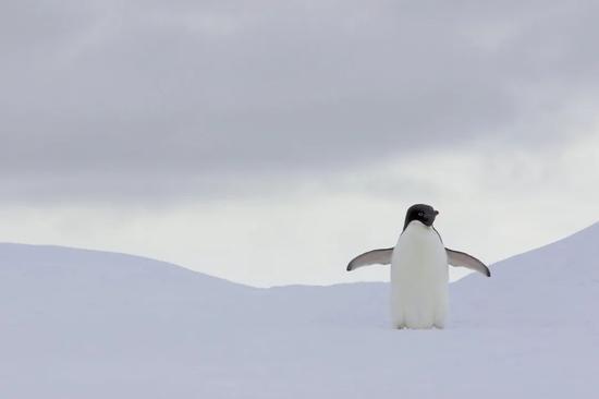 """或许,企鹅就是有这样的魅力。图片:Gregory """"Slobirdr"""" Smith / flickr"""