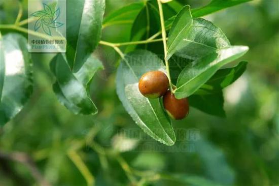 酸枣 图片来源:中国植物图像库