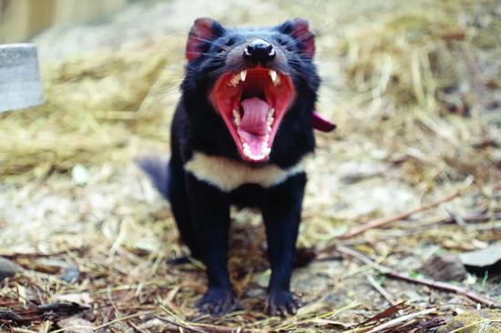 """在这种叫""""恶魔""""的动物身上,科学家发现了让肿瘤自行消失的秘密"""