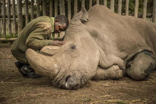 苏丹在接受安乐死之前,饲养员 Joseph Wachira 正在悲伤地抚摸牠© Ami Vitale / National Geographic