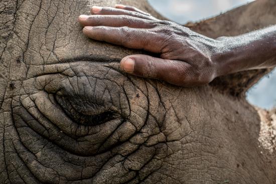 饲养员们与Najin和Fatu建立了深厚的关系© Justin Mott/ Ol Pejeta