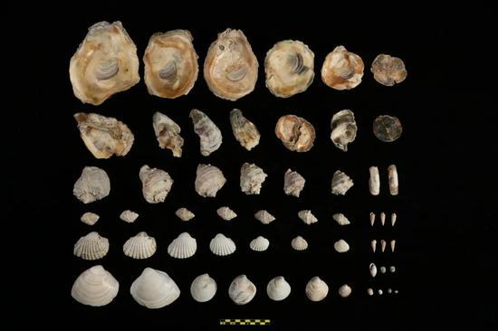 出土海洋软体动物贝壳