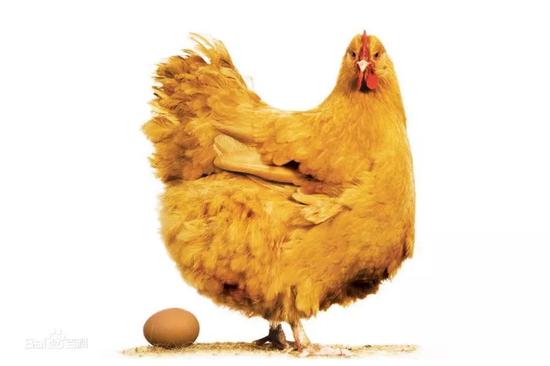 母鸡下蛋(图片来源:百度百科)