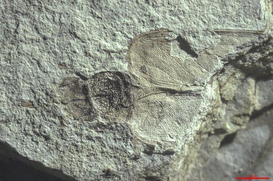 玉门鞘蠊化石标本。中科院南京地质古生物研究所供图。