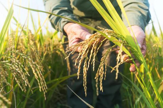 杂交水稻,如何改变中国与世界?