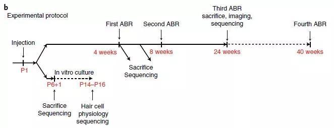 ▲在贝多芬小鼠出生后进行基因编辑治疗,并在此后数十周内评估疗法对疾病发展的影响(图片来源:参考资料[1])