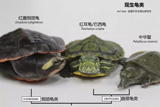 世界龟鳖是一家,来源于统一先人。图片来源:thenode.biologists.com