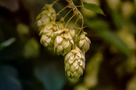 啤酒花。图片来源:Pixabay