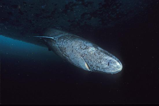 在努纳武特地区被抓拍到的格陵兰睡鲨(图片来源/Wikipedia)