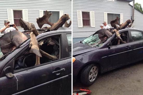 汽车撞击驯鹿变乱 |https://www.dailystar.co.uk/news/latest-news/388617/Moose-hits-head-on-into-car