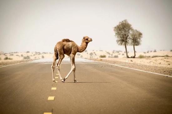 公路上的骆驼 |pixabay