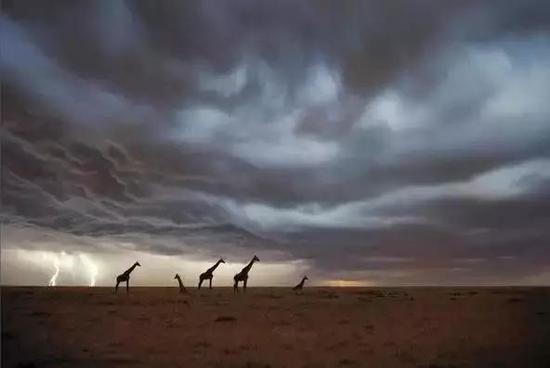 长颈鹿行走于旷野(来源网络)