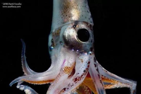 眼睛巨大的火乌贼。图片来源:JungleDragon;Science Photo Library