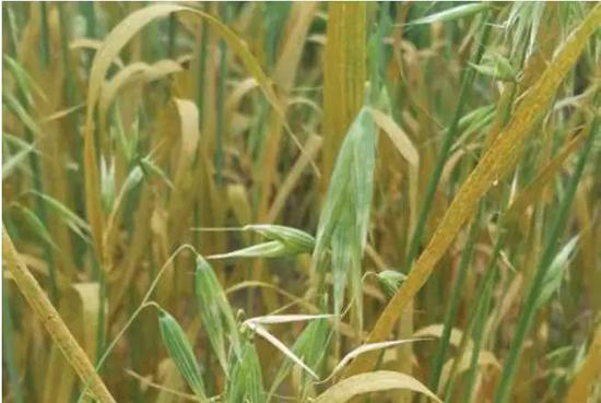 受稻瘟病菌影响而枯萎的水稻