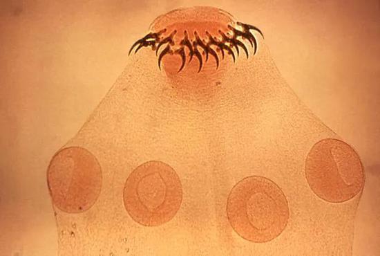猪绦虫始末吸盘和小钩附着在宿主的肠道内