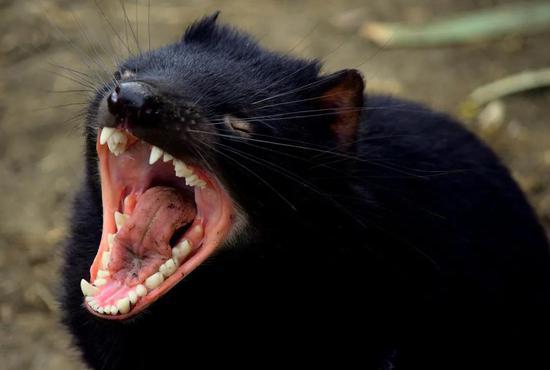 袋獾尖锐的牙齿。图片来源:Pixabay