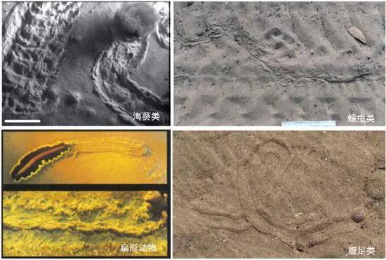 一些依靠身体伸缩或蠕动的无附肢动物,在沉积物表面形成连续的爬迹,会形成一条凹陷的拖槽